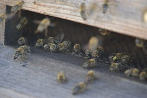 Bijenbekje kopen